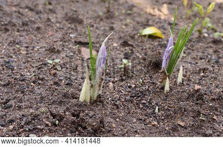 Young Sprouting Saffron.crocus Sativus, Commonly Known As Saffron Crocus It Is Among The World's Mos