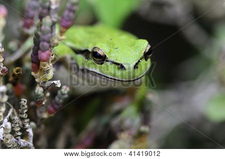 A macro shot of a green frog on the branches of a small bush poster