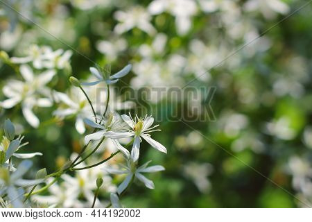 Small Airy White Flowers Of Clematis Flammula On A Blurred Natural Background. Flower Of A Fragrant