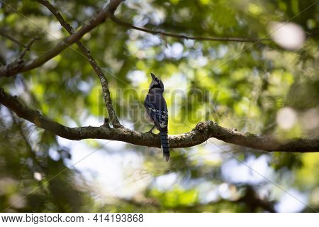 Blue Jay (cyanocitta Cristata) Looking Up Majestically From Its Perch On A Tree Branch