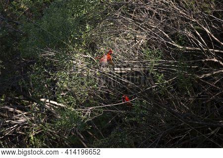 Male Cardinal (cardinalis Cardinalis) Flying With A Small Twig In His Beak