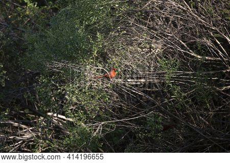 Male Cardinal (cardinalis Cardinalis) Bird Perched On A Shrub, Snacking On A Limb