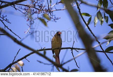 Female Cardinal (cardinalis Cardinalis) Eating Berries On A Branch