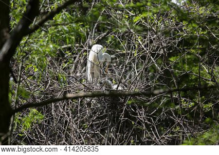 Great Egret (ardea Alba) Parent Reaching Down To Chicks