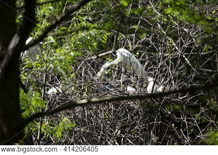 Great Egret (ardea Alba) Reaching For A Nest Branch As It Watches Over Its Chicks
