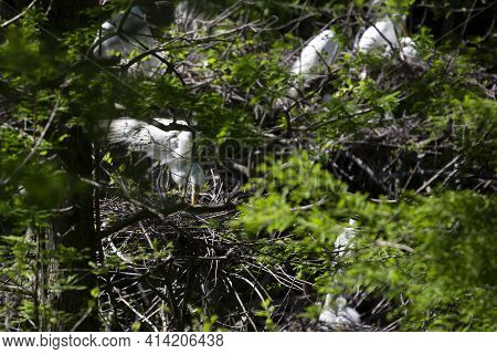 Great Egret (ardea Alba) Feeding A Chick During The Nesting Period