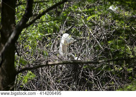 Great Egret (ardea Alba) Grooming As It Watches Over Its Chicks