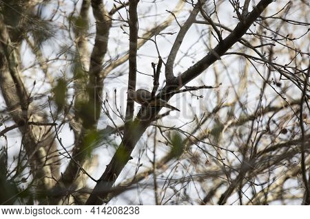 Mourning Dove (zenaida Macroura) Perched In A Tree On A Cool Day