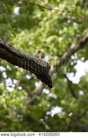 Mourning Dove (zenaida Macroura) Hidden In The Green Leaves Of A Tree