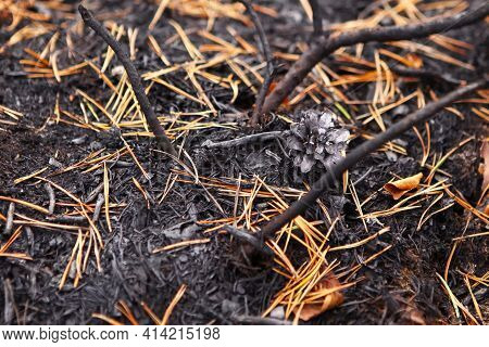Forest After The Fire, Burnt Forest Floor, Pine Cone And Burnt Pine Needles Close-up. In Conditions