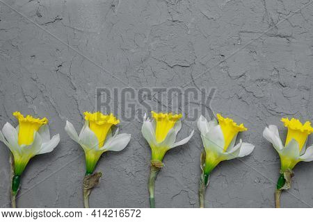 Yellow Daffodils On A Gray Background Of Vintage Putty Wall Close-up, Flat Lay, Copyspace, Greeting