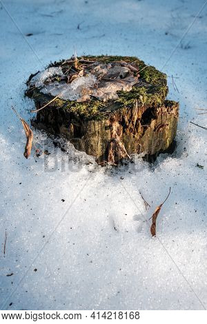 Snow-covered Tree Stump With Moss And Brown Leaves. Picturesque Tree Stump In The Forest. The Spring