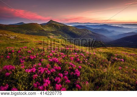 Attractive summer sunset with pink rhododendron flowers. Location place Carpathian mountains, Ukraine, Europe. Vibrant photo wallpaper. Image of exotic landscape. Discover the beauty of earth.