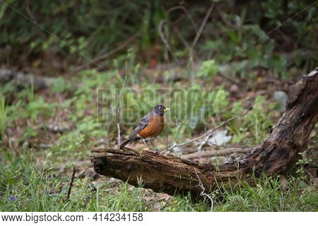 Curious American Robin (turdus Migratorius) Looking Around From Its Perch On A Rotting Limb On The G