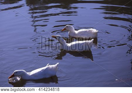 Three Snow Geese (chen Caerulescens) Swimming Across A Waterway