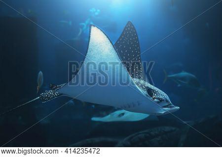 Stingray Swims In Blue Water Underwater In Aquarium.