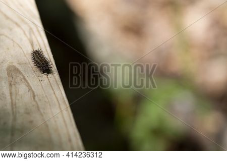Buck Moth Caterpillar (hemileuca Maia) Crawling Along A Boardwalk Plank