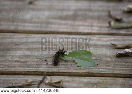 Buck Moth Caterpillar (hemileuca Maia) Eating A Leaf On A Boardwalk