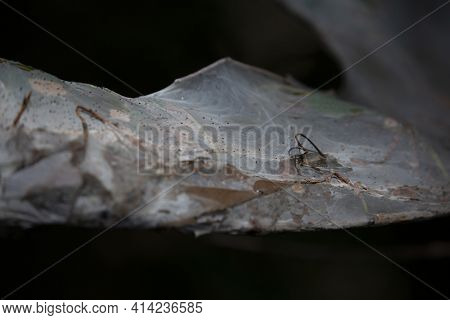 Fall Webworms (hyphantria Cunea) Nestled In A Tree Cocoon Wrapped Around Dying Leaves During The Aut