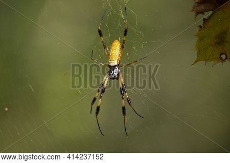 Golden Orb Weaver Spider (nephila) On Its Web
