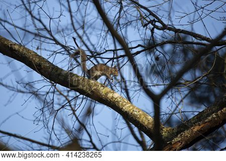 Squirrel Leaping As It Runs Down A Tree Branch