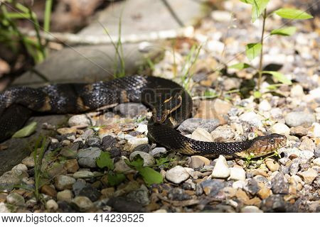 Broad-banded Water Snakes (nerodia Fasciata Confluens) Mating On A Rock Walkway