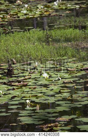 Lily Pads (nymphaeaceae) And Lotus Flowers (nelumbo Nucifera) Floating Along The Top Of A Lake