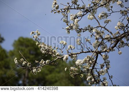 White Flowering Blooms On A Bradford Pear Tree (pyrus Calleryana) With A Pine Tree In The Background