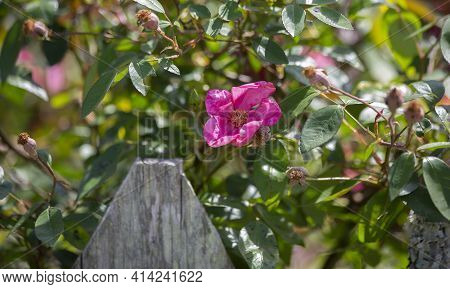 Close Up Of A Pretty, Pink Flower Near A Wooden Fence