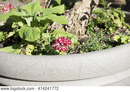 Pretty Red And White Flowers In A Pot With Green Leaves
