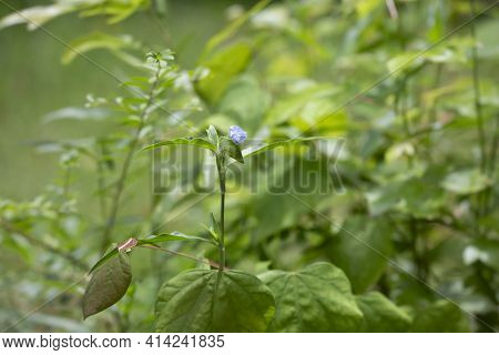 Single Violet Bloom In A Bed Of Growing Plants