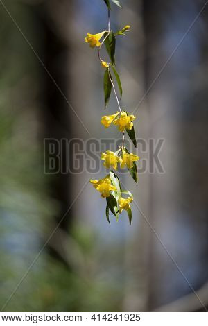Yellow Bell Flowers Hanging From A Green Vine