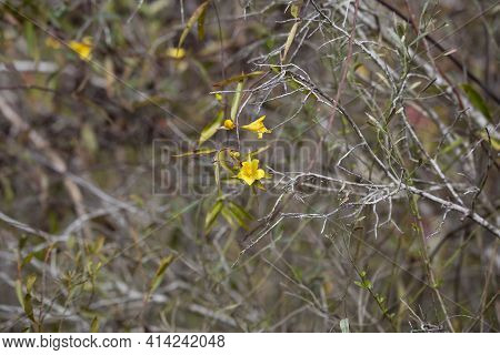 Yellow Bell Flowers In Bloom Hanging On A Vine Through Scrubby Foliage