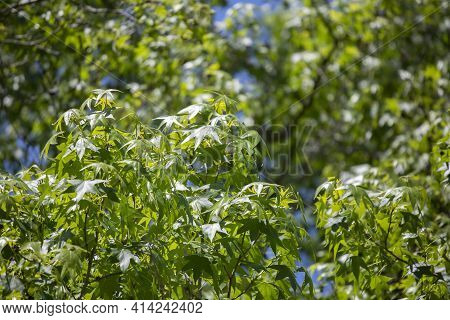 Deep Green Leaves On A Tree During A Clear Blue Day