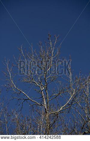 Bare Sweetgum Tree (liquidambar) With Stickers But No Leaves