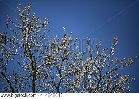 Pollen Growing On A Bare Tree On A Nice, Blue Day