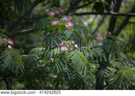 Mimosa Tree (albizia Julibrissin) Leaves And Pink Blooms