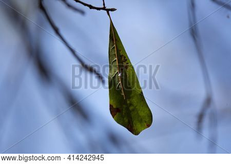 Diseased Water Oak (quercus ) Leaf Hanging From A Tree