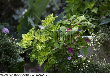 Close Up Of Purple, Yellow, Green, And White Coleus Plant Leaves