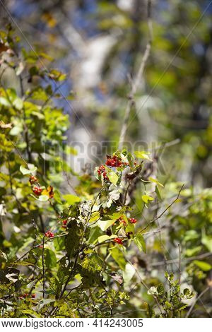Tiny Red Berries Growing On A Green Bush