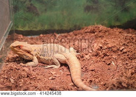 Australian Reptile Bearded Agama Bright Orange Color In The Brown Ground.  Lizard. There Are A Large