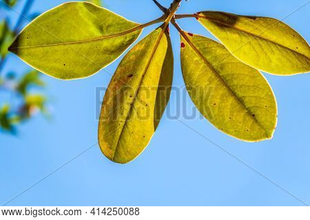 Fresh Magnolia Leaves On A Branch. Magnolia Soulangeana, The Saucer Magnolia, Branch With Fresh Gree