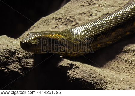 Close Up Head Of Green Anaconda Was Coiled On The Rock
