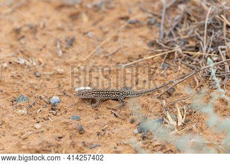 Steppe Runner Lizard Or Eremias Arguta On Dry Ground Close.