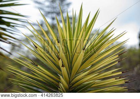 Leaves Of Yucca Aloifolia Variegata In Funchal On Madeira Island