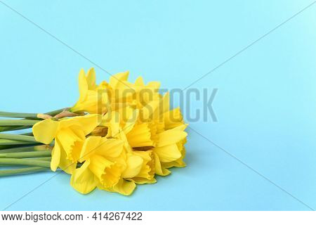 Yellow Daffodils On A Blue Background, Close Up.