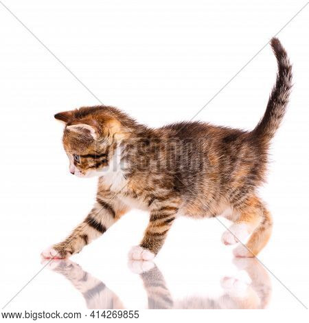 Playful Tricolor Kitten On A White Background.