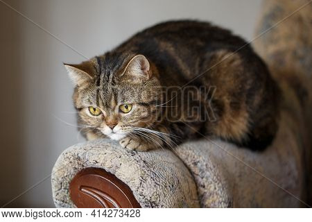 Cunning And Playful Scottish Straight Brown Tabby Cat Lies On The Couch.