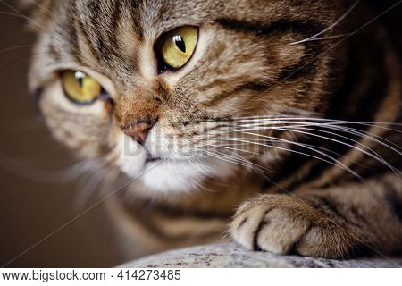 Macro Close Up Portrait Of A Domestic Scottish Straight Brown Tabby Pet Cat Lying On Sofa.