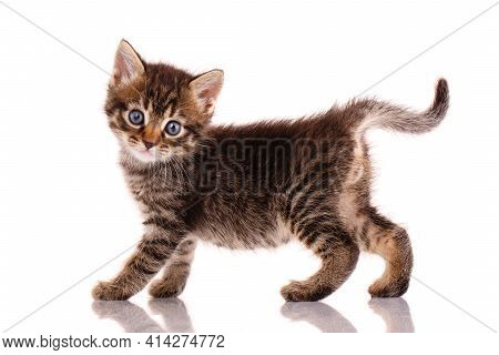 Striped Kitten Walks In Front Of A White Background In The Studio.